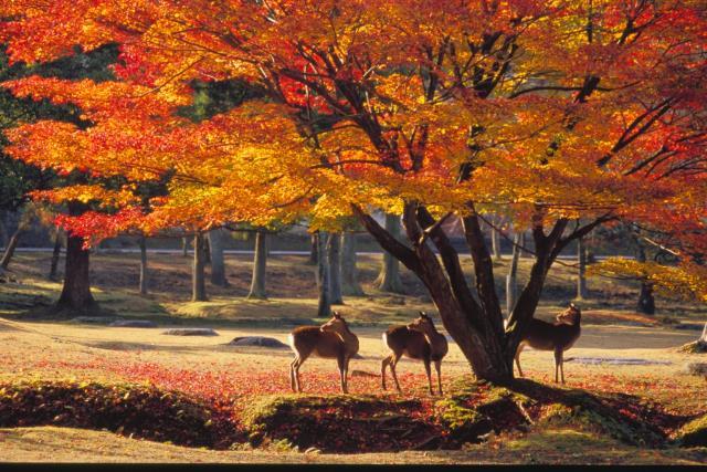 日本本州5晚7日游(东航直飞,一晚温泉酒店 ,京都奈良镰仓三古都,升级和牛鲜花餐)